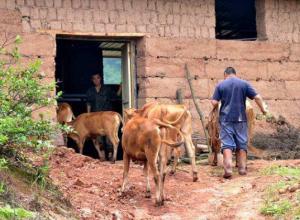 养牛要给牛买保险吗