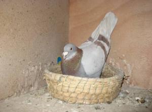 鸽子暖蛋一般多长时间