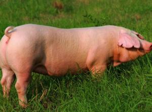 母猪断奶后为什么不发情