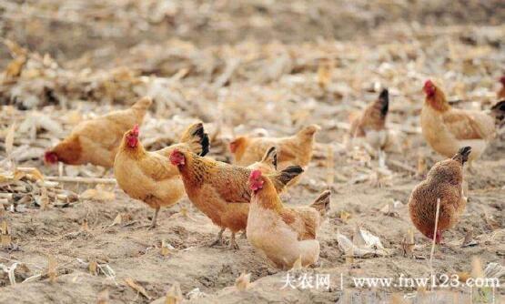 养鸡怎么补充维生素,补充多少量为好