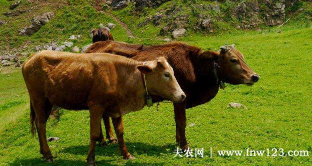 肉牛能喂猪油吗