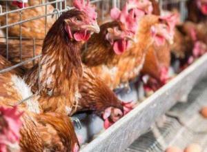养鸡多久下蛋,产蛋周期多久