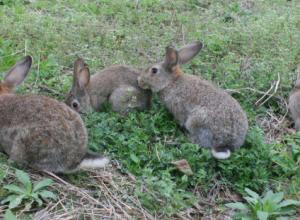 野兔每年产仔几胎