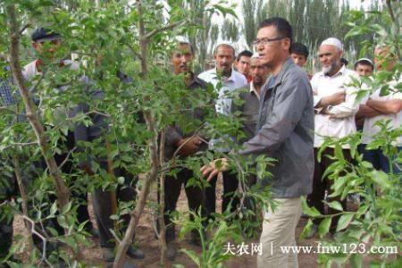 盛果期枣树怎么修剪