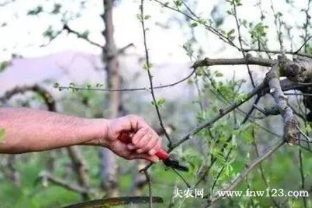 衰老枣树的更新修剪要点