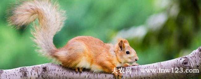 松鼠种类有哪些,松鼠究竟有多少种