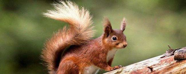 松鼠尾巴有什么作用