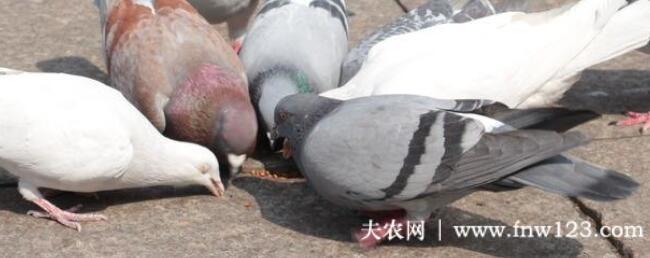 鸽子可以吃大米吗