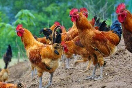 养殖跑山鸡赚不赚钱,养殖跑山鸡成本与利润分析