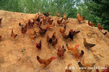 跑山鸡究竟怎么养,跑山鸡养殖周期分析