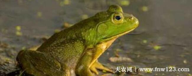 田鸡是青蛙吗,田鸡和青蛙有没有区别