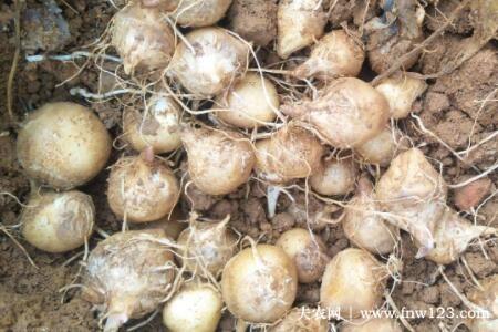 旱半夏种子多少钱一斤,旱半夏种子价格行情一览