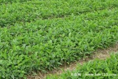 旱半夏亩产量多少公斤,种植旱半夏亩收益怎么样