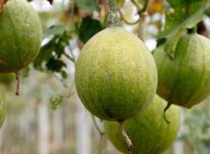 瓜蒌子和吊瓜子有什么区别