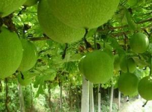 瓜蒌和天花粉有什么区别