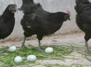 绿壳蛋鸡吃什么饲料