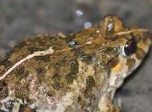 田鸡是牛蛙吗,田鸡和牛蛙有没有区别