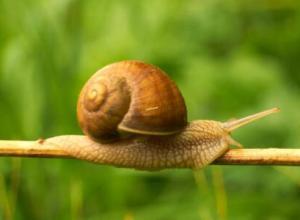 蜗牛在水中会淹死吗?