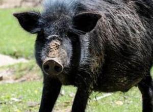 母猪得非洲猪瘟的症状