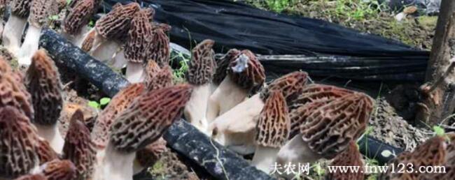 羊肚菌的种植条件