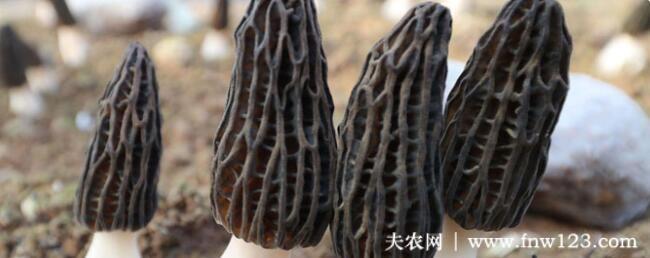 羊肚菌出菇期的管理要求