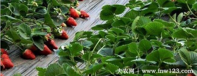 草莓走茎怎么办,走茎多久剪掉最好