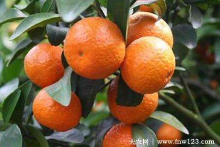 橙子树耐寒多少度