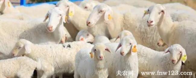 喂50只湖羊母羊一年利润多少