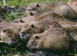 海狸鼠一般多久繁殖