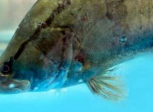 鳜鱼的种类有哪些?