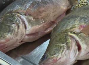 养鳜鱼要注意什么?