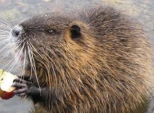 海狸鼠吃什么长得快