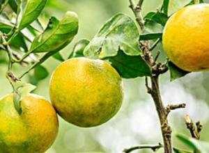 北方能不能种植橘子树