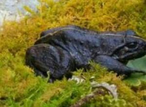 石蛙有哪些品种,石蛙的产地分布情况