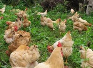 90天三黄鸡能长到多少斤
