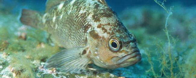 石斑鱼肠炎种类及防治方法