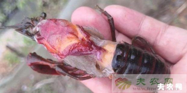 小龙虾偷死症的症状,小龙虾偷死症的防治方法