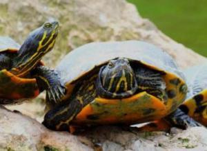 乌龟葡萄眼是什么原因