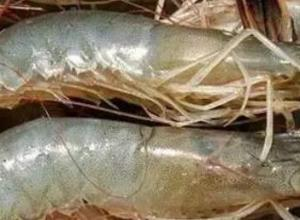 对虾患肠炎时用什么抗生素