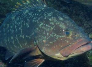 石斑鱼能不能生吃