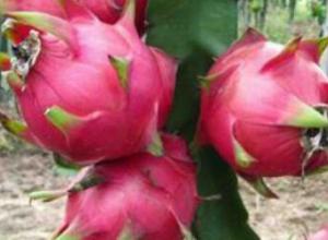 火龙果一般亩产多少斤