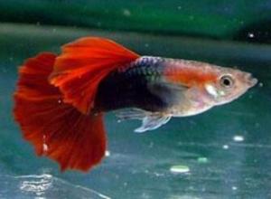 孔雀鱼怎么催产,孔雀鱼常用催产方法