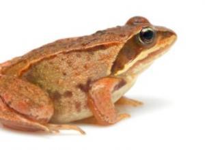 林蛙的学名叫什么