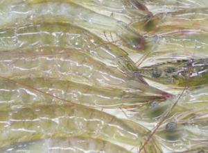对虾软壳是什么原因,对虾软壳怎么办