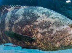 石斑鱼体内嘌呤含量是多少