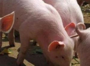猪驱虫药过量会不会死猪?