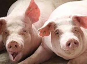 猪吃大蒜能不能预防猪瘟