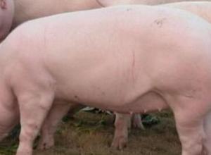 发酵豆渣喂猪有什么害处