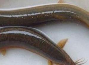 泥鳅刺能不能吃,泥鳅刺卡喉咙怎么办