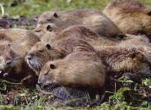 海狸鼠吃什么饲料,海狸鼠的饲料种类有哪些